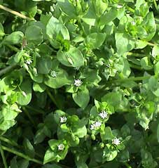 Vogelmiere/chickweed